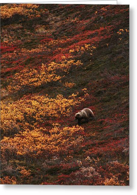 Brown Bear Denali National Park Greeting Card