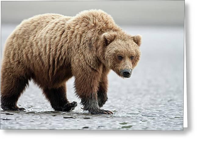 Brown Bear Stare Greeting Card