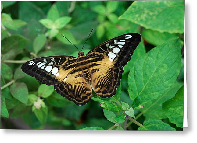 Brown Clipper Butterfly Greeting Card