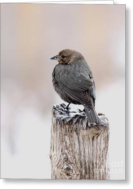Greeting Card featuring the photograph Brown-headed Cowbird by Jack R Brock