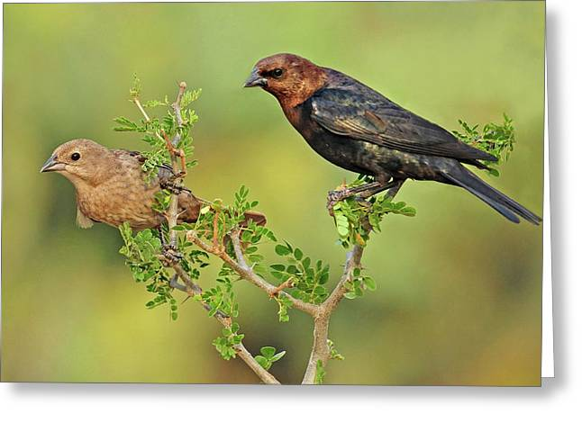 Brown Headed Cowbird Pair Greeting Card