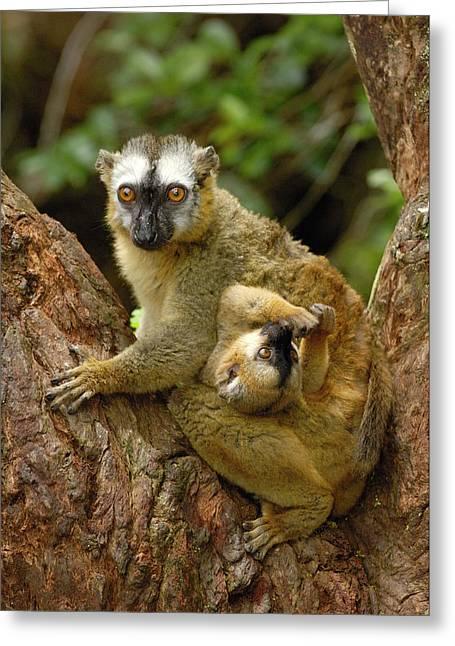 Brown Lemur Lemur Fulvus Female Greeting Card by Pete Oxford