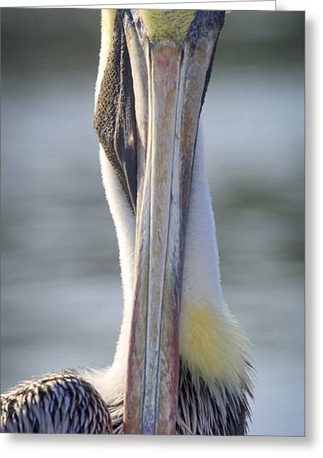 Brown Pelican 1 Greeting Card by Patrick M Lynch