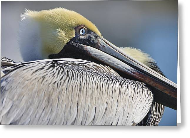 Brown Pelican Greeting Card by Adam Romanowicz