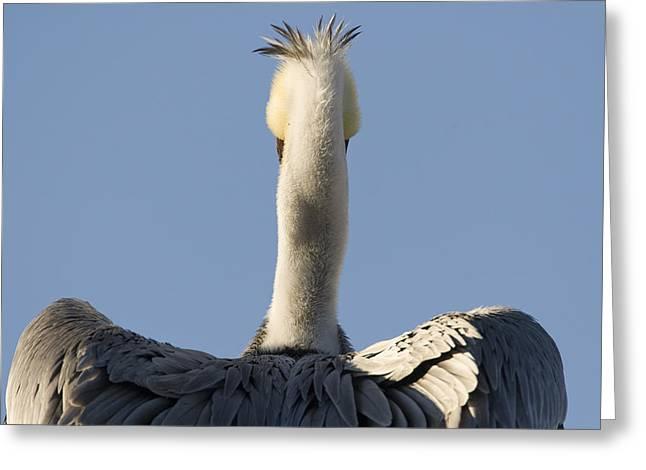 Brown Pelican Drying Its Wings Natural Greeting Card