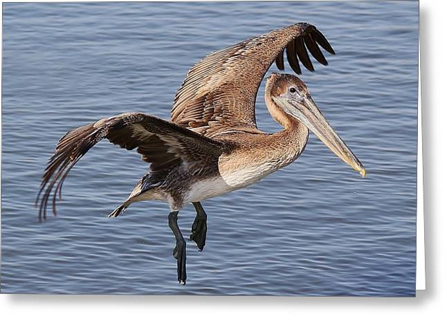 Brown Pelican In Flight Greeting Card by Paulette Thomas