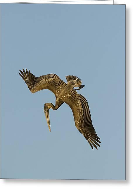 Brown Pelican Juvenile Starting A Dive Greeting Card by Sebastian Kennerknecht