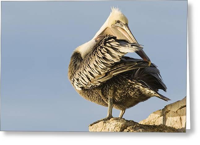 Brown Pelican Preening Natural Bridges Greeting Card