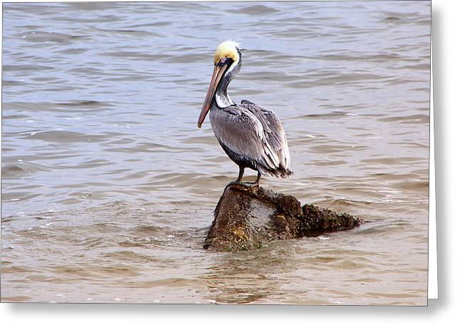 Greeting Card featuring the photograph Brown Pelican by Susi Stroud