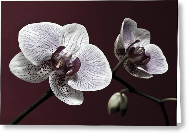 Brown Purple White Orchids Flower Macro - Flower Photograph Greeting Card by Artecco Fine Art Photography