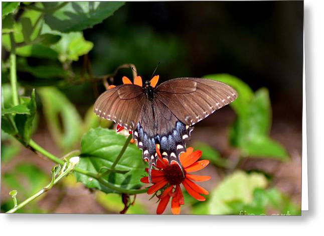 Brown Swallowtail Butterfly Greeting Card by Eva Thomas