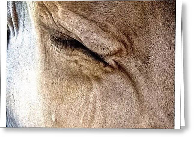 Brown Swiss Cow Greeting Card