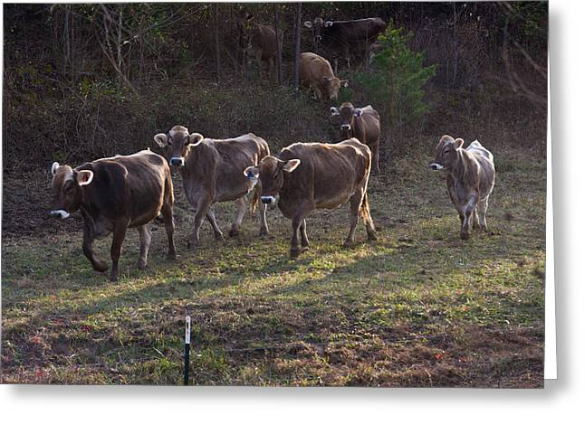 Brown Swiss Cows Coming Home Greeting Card by Douglas Barnett