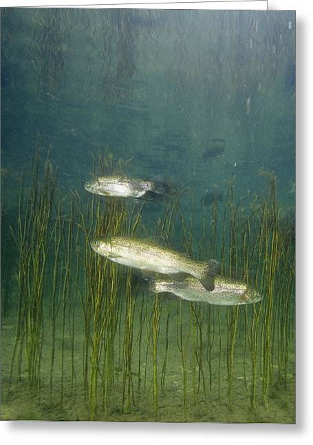 Brown Trout Greeting Card by Alexis Rosenfeld