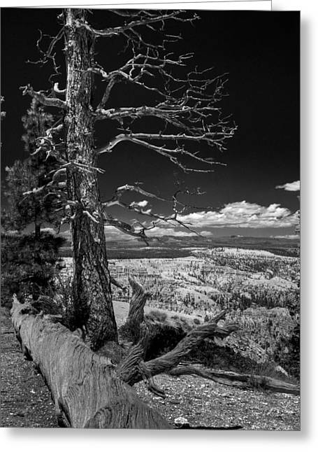 Bryce Canyon - Dead Tree Black And White Greeting Card