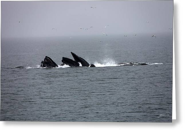 Bubble Netting Whales In Alaska Greeting Card by Gary Gunderson