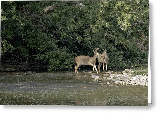 Greeting Card featuring the photograph Buck And Doe by David Lester