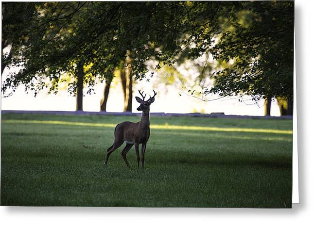 Buck At Dawn Greeting Card