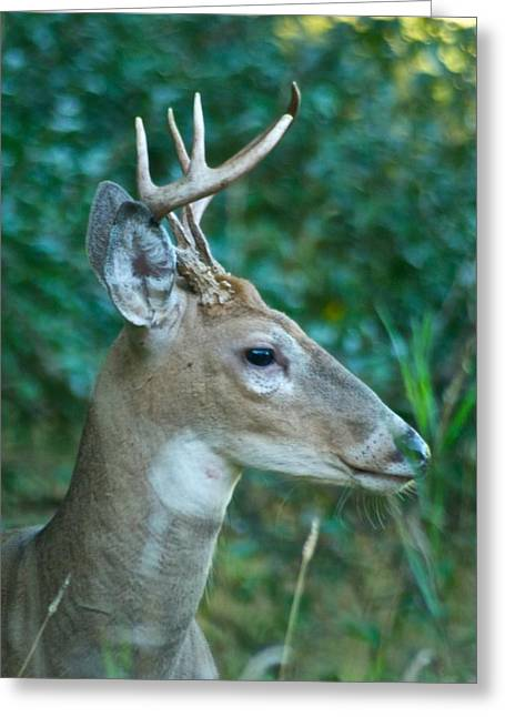 Buck Profile 9634 Greeting Card by Michael Peychich