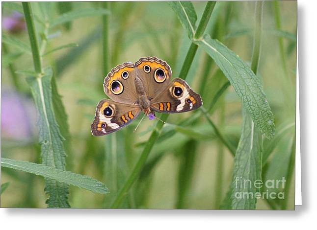 Buckeye Butterfly And Verbena 2 Greeting Card