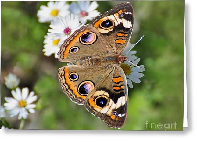 Buckeye Butterfly Greeting Card by Rodney Campbell