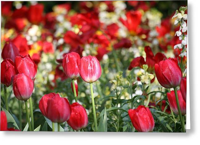 Buckingham Tulips Greeting Card by Carrie OBrien Sibley