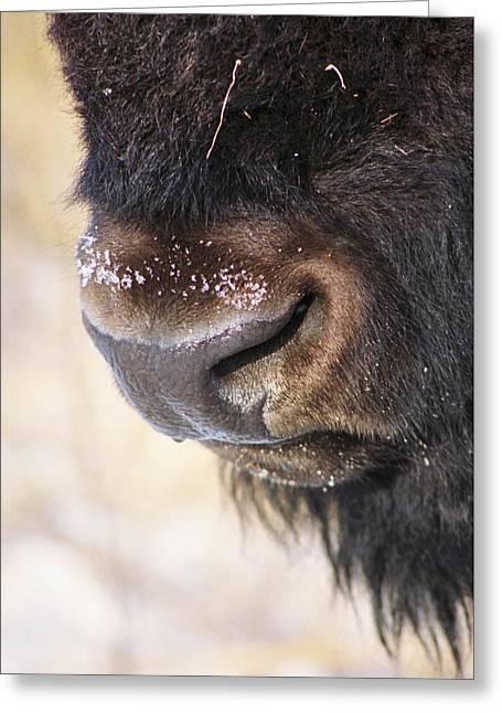 Buff Nose Greeting Card by Rick Rauzi