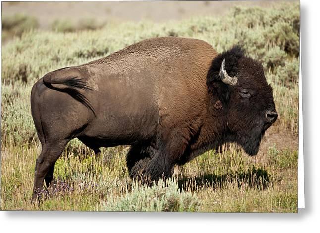 Buffalo Bull Greeting Card by D Robert Franz