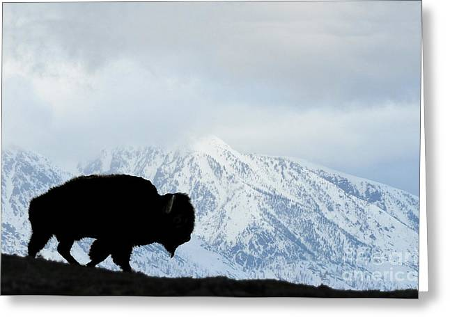 Greeting Card featuring the photograph Buffalo Suvived Another Yellowstone Winter by Dan Friend