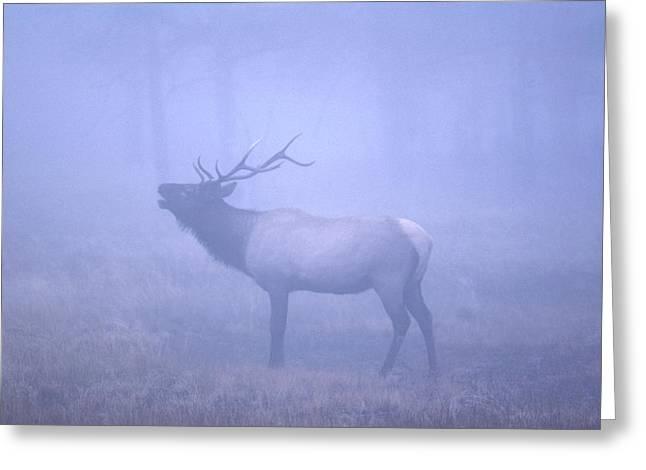 Bugling Elk Greeting Card
