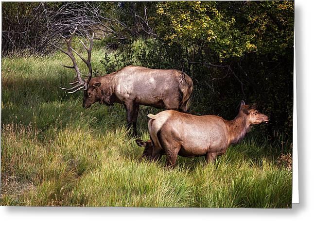 Bull Elk 7x7 Greeting Card