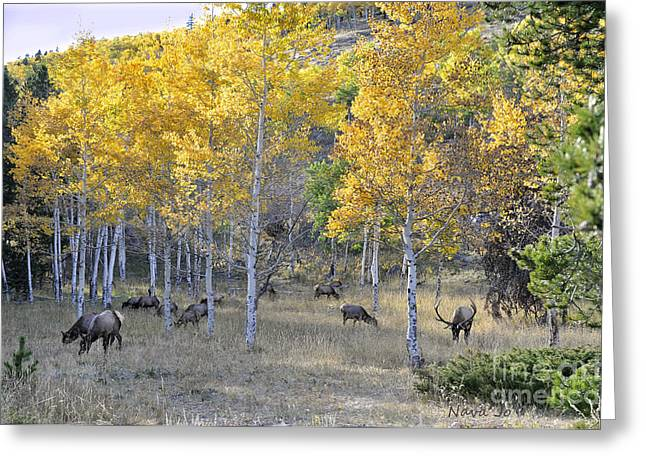 Greeting Card featuring the photograph Bull Elk And Harem by Nava Thompson
