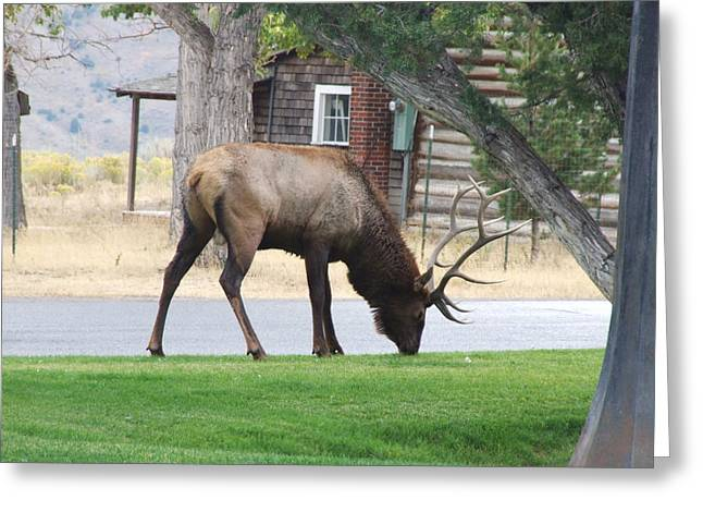 Bull Elk At Lodge Greeting Card