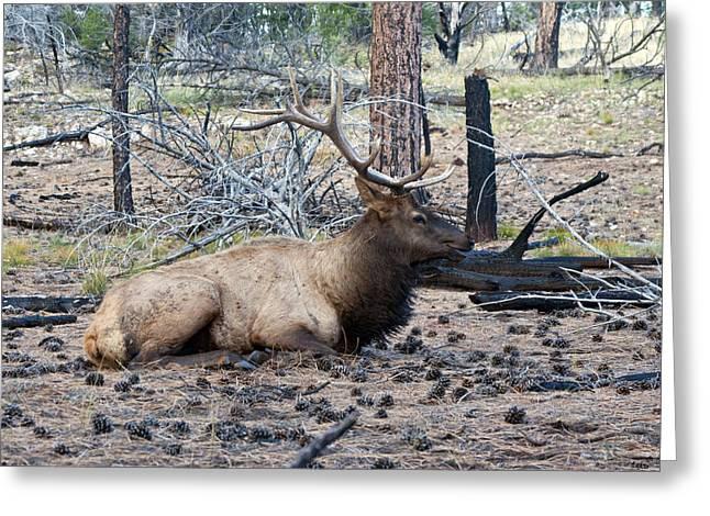 Bull Elk Greeting Card by Brian Lambert