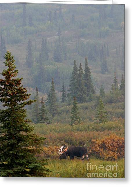 Bull Moose In Alaska Greeting Card