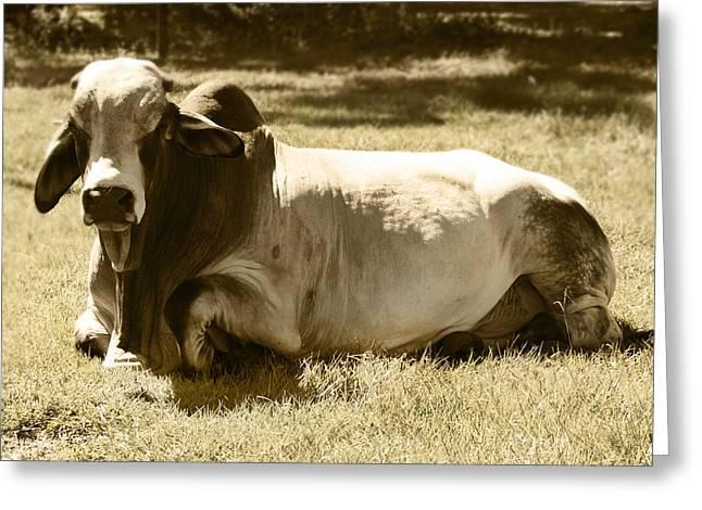 Bull Greeting Card by Steve Sperry