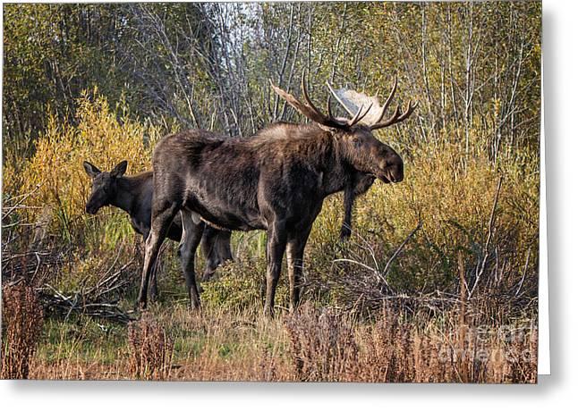 Bull Tolerates Calf Greeting Card