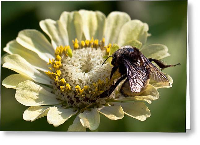 Greeting Card featuring the photograph Bumble Bee  by Anna Rumiantseva