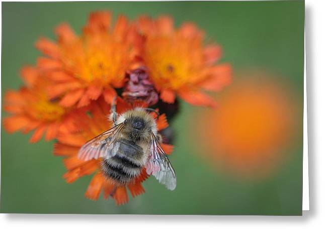 Greeting Card featuring the photograph Bumblebee And Orange Hawkweed by Ronda Broatch