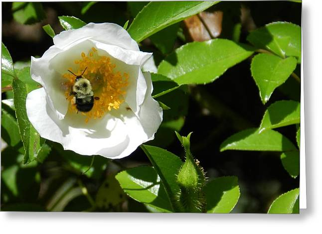 Bumblebee Greeting Card by Don L Williams