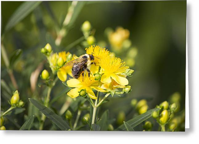 Bumblebee On Yellow Greeting Card by Michel DesRoches