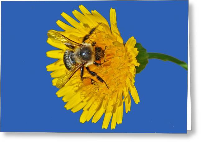 Greeting Card featuring the photograph Bumblebee by Rodney Campbell