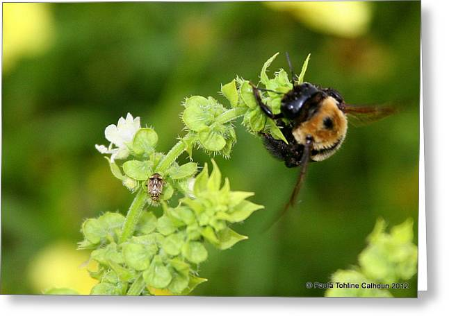 Bumbling On The Basil Greeting Card by Paula Tohline Calhoun