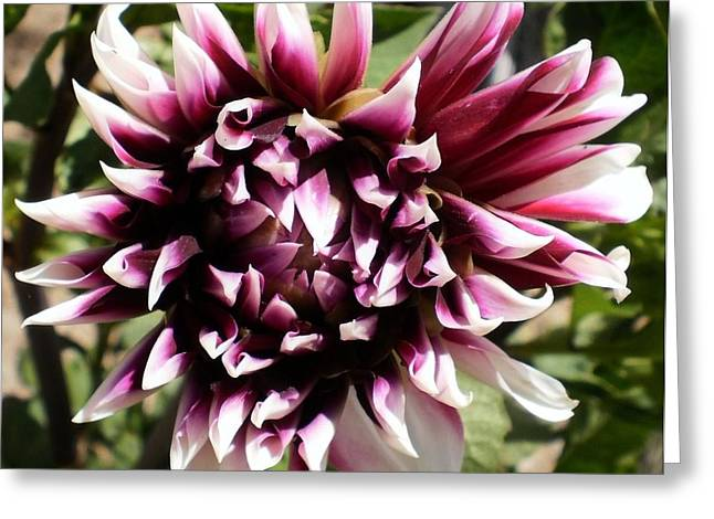 Burgundy And White Dahlia Greeting Card by D J Larsen