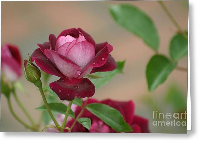 Burgundy Iceberg Greeting Card by Living Color Photography Lorraine Lynch