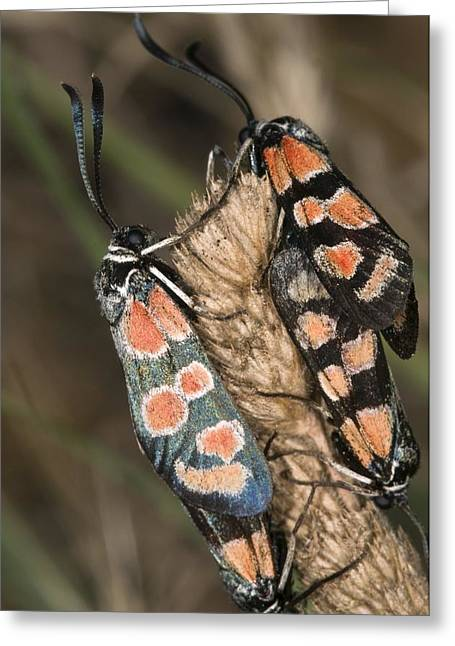 Burnet Moths Mating Greeting Card by Paul Harcourt Davies