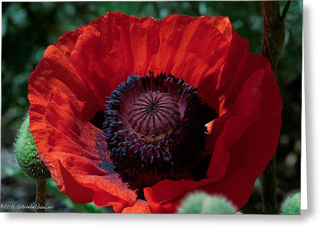 Greeting Card featuring the photograph Burning Poppy by Mitch Shindelbower