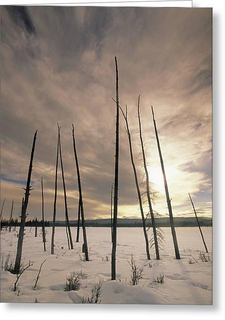 Burnt Pieces Of Black Spruce, Boggy Greeting Card by Darwin Wiggett
