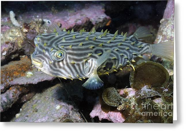 Burrfish In Atlantic Ocean Greeting Card
