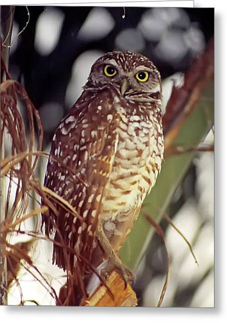 Greeting Card featuring the photograph Burrowing Owl by Geraldine Alexander